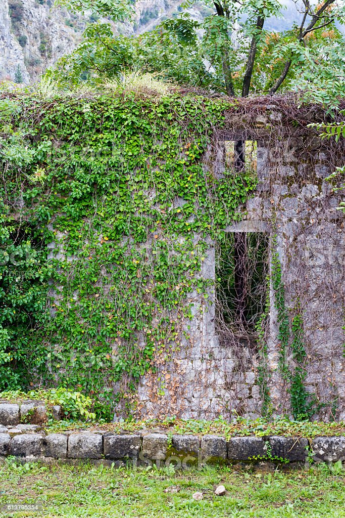 wall of an abandoned house covered with green ivy stock photo