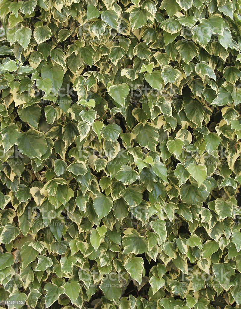 Wall of Green and White Leaves royalty-free stock photo