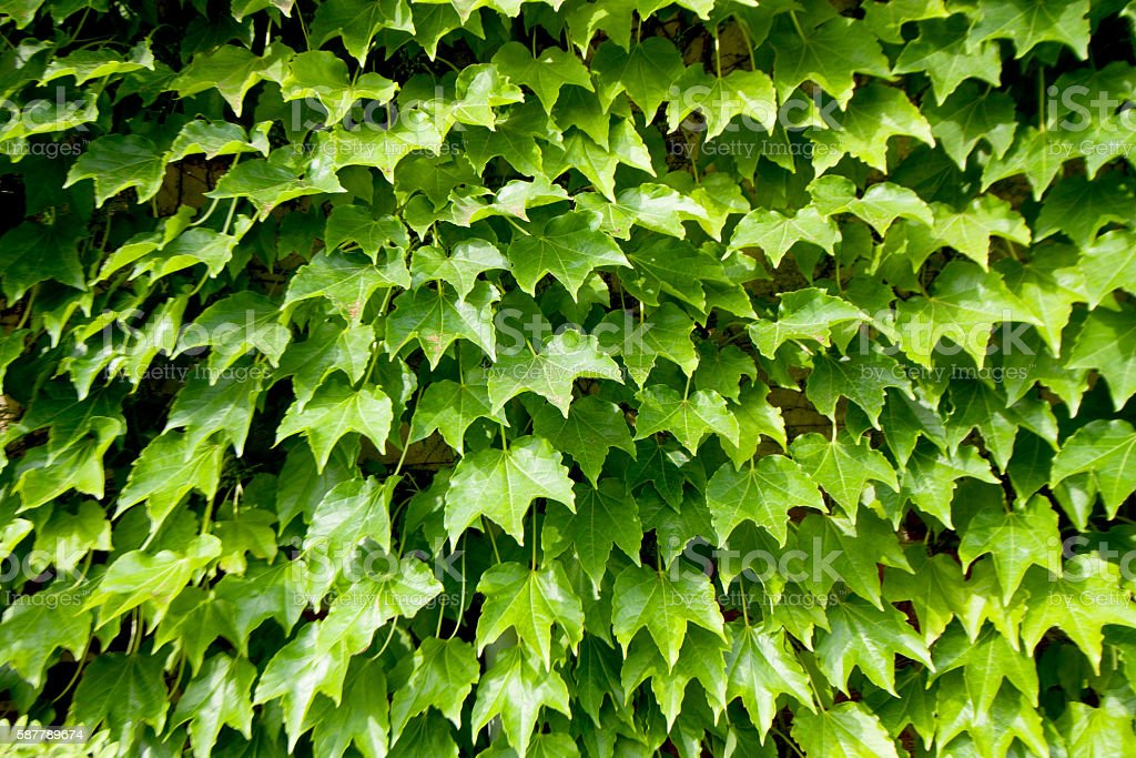 Wall of ivy stock photo