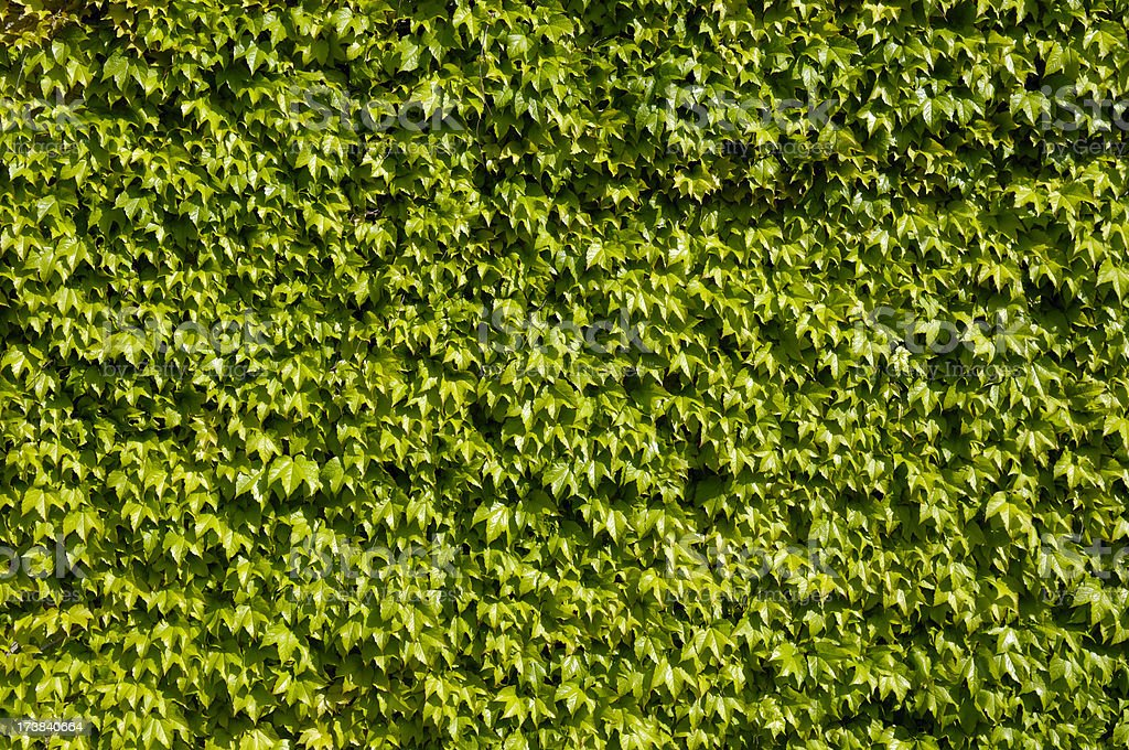 Wall of leaves royalty-free stock photo