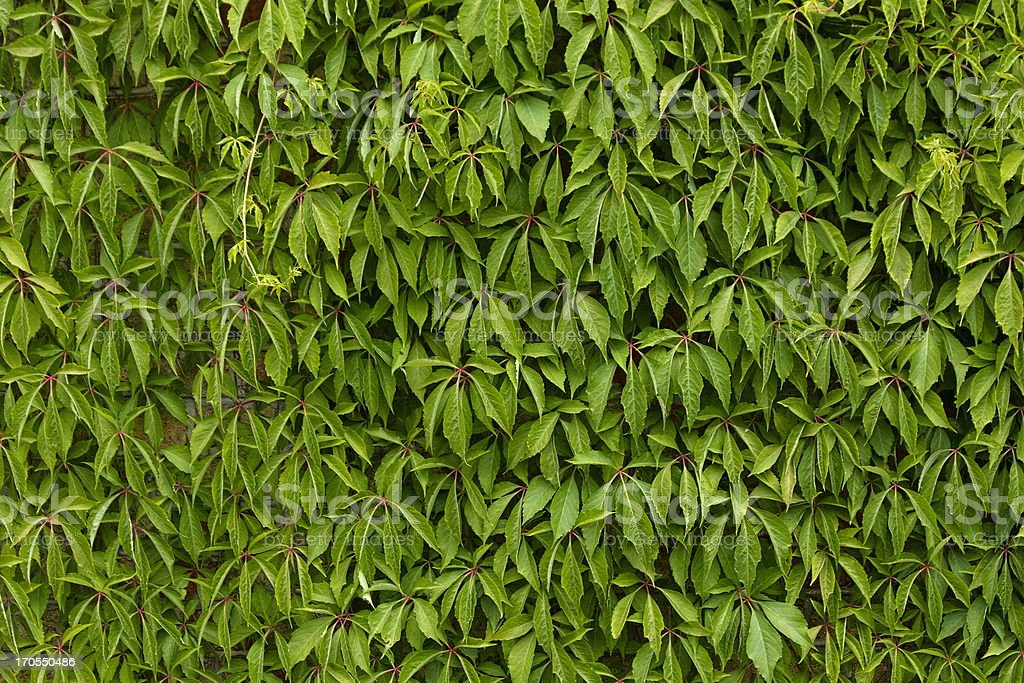 Wall of the woodbine leaves. royalty-free stock photo