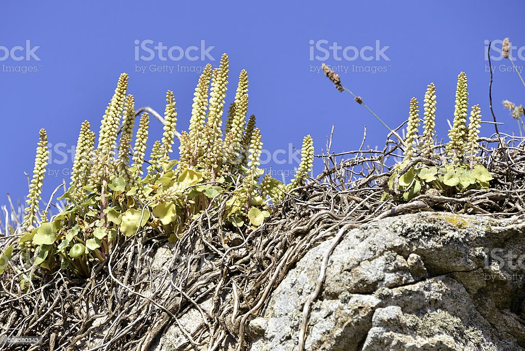 Wall Pennywort flower stock photo