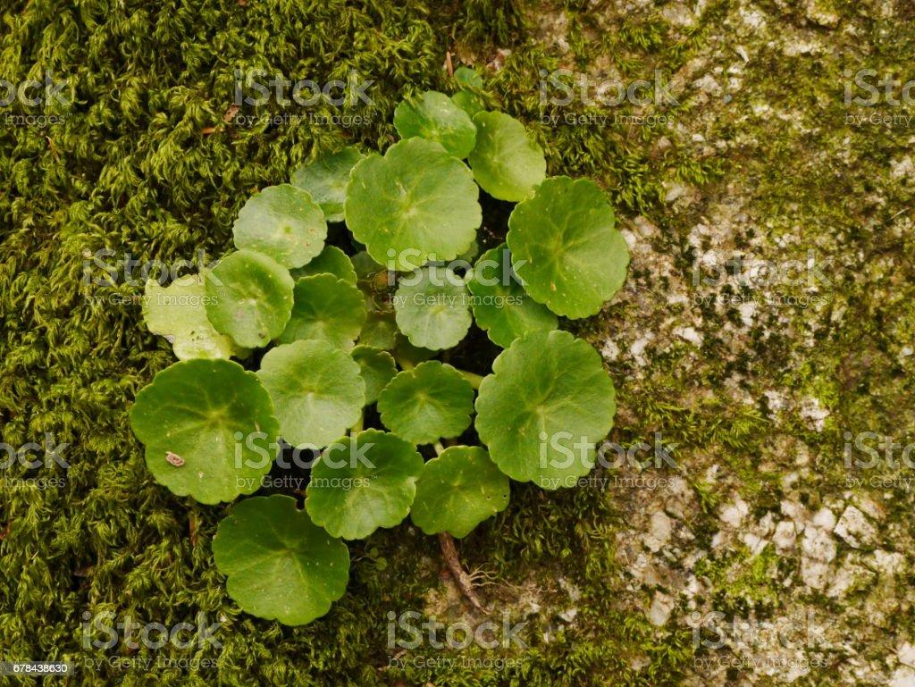 Wall Pennywort stock photo