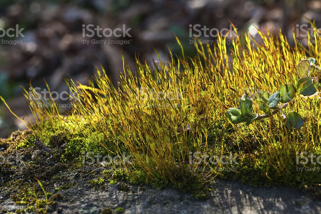 Wall Screw-moss - Tortula muralis stock photo