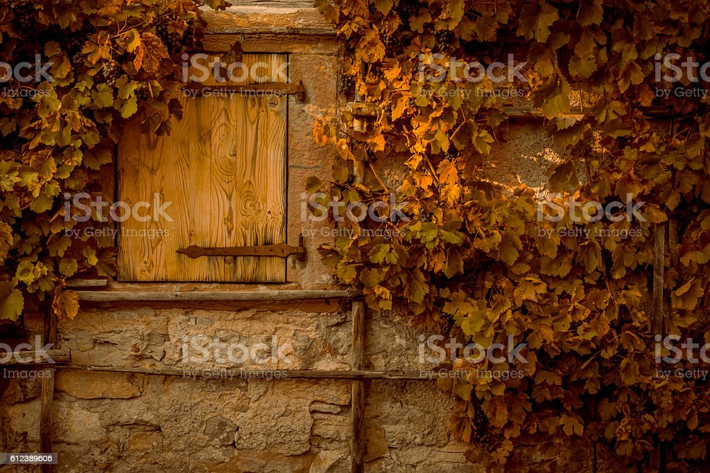Wall stone covered by grape vines stock photo