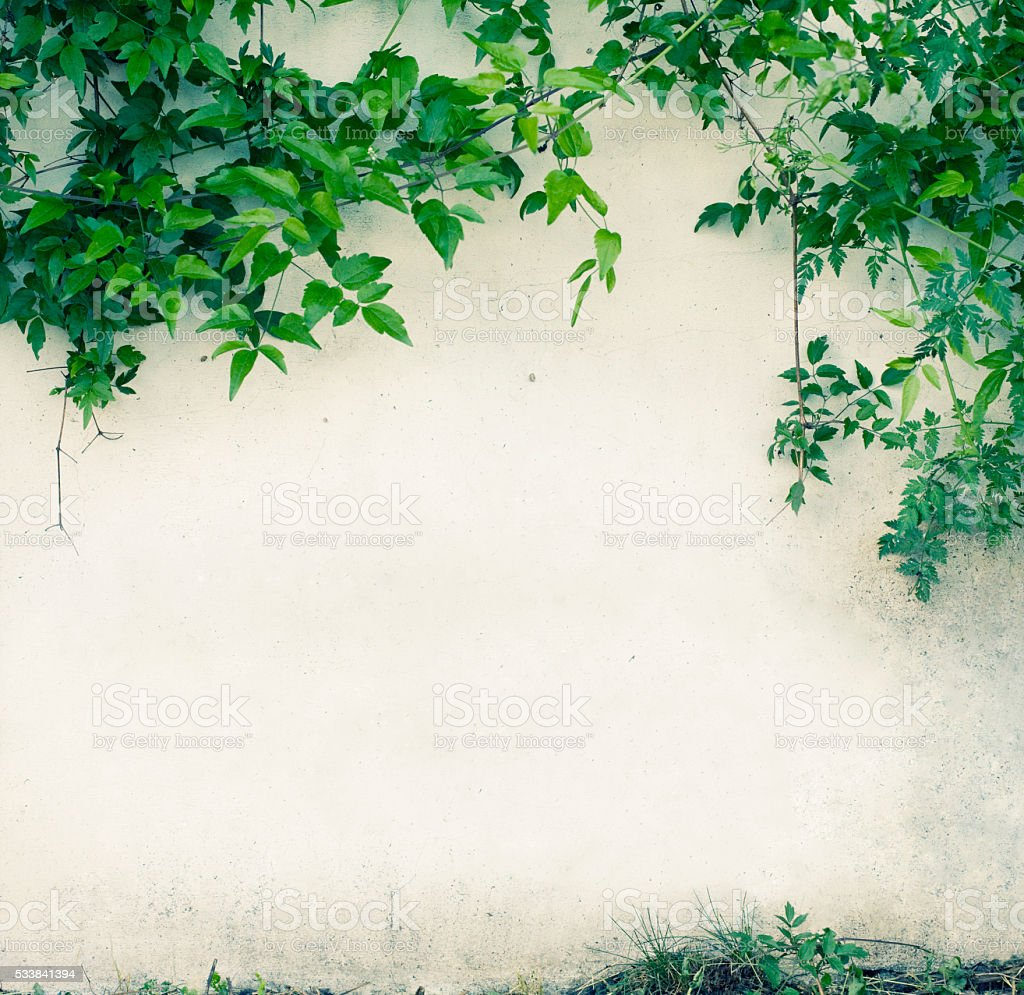 Wall with green leaves stock photo