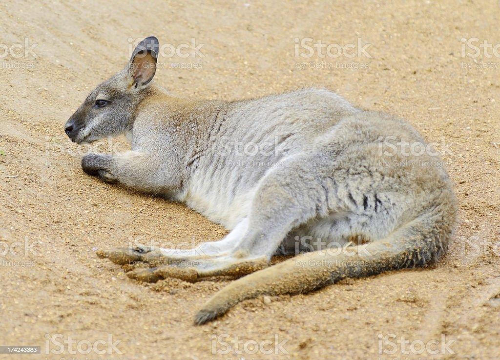 Wallaby alone royalty-free stock photo