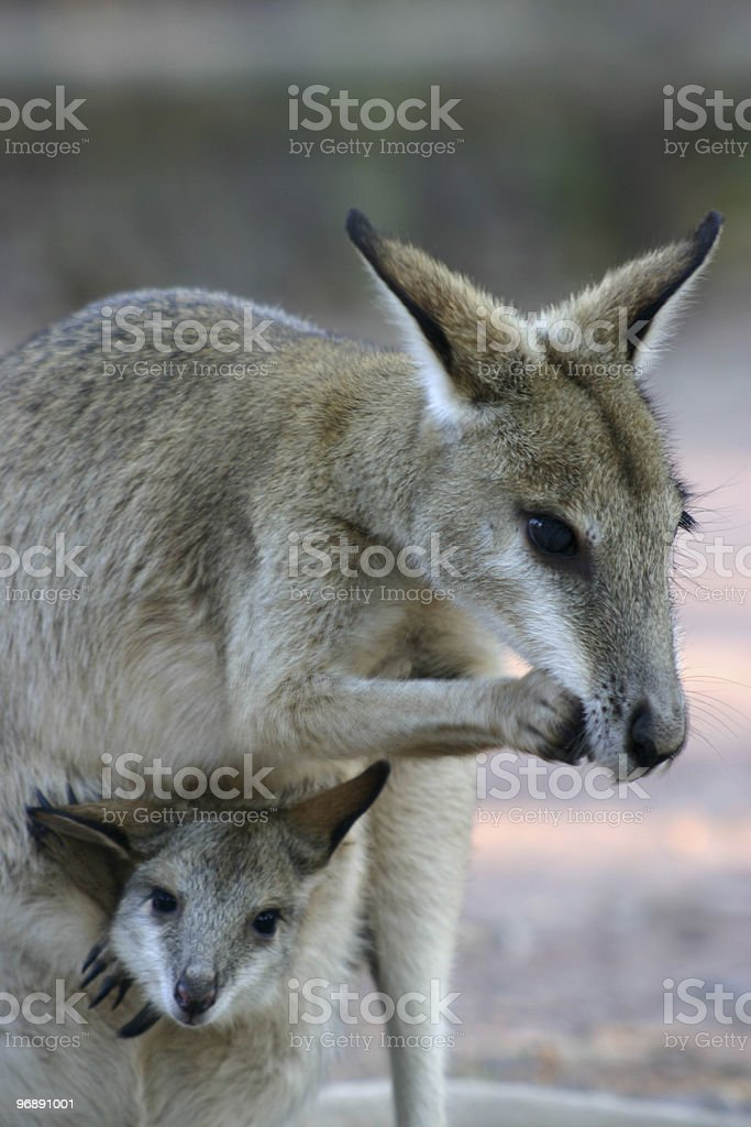 Wallaby and Joey stock photo
