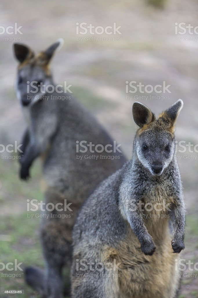 Wallaby Animal royalty-free stock photo