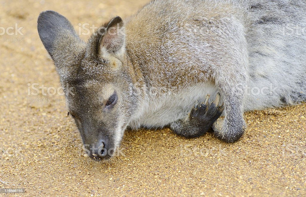 Wallaby close-up royalty-free stock photo