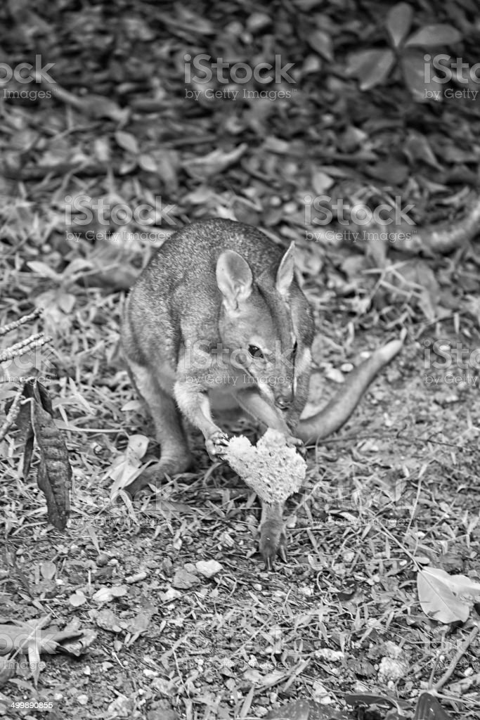 Wallaby eating bread stock photo