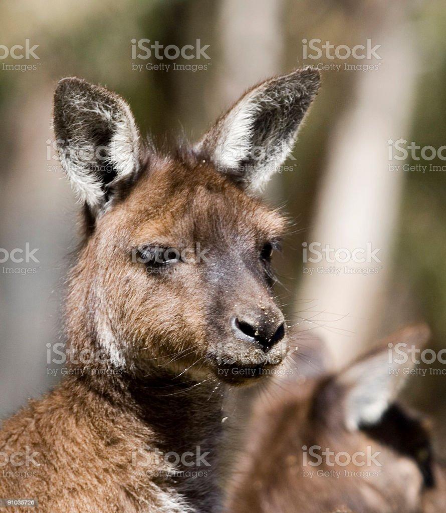 Wallaby face royalty-free stock photo