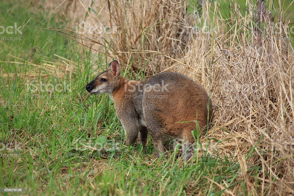 Wallaby grazing on a farm in NSW, Australia stock photo