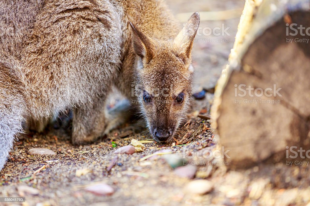 Wallaby in a zoo stock photo