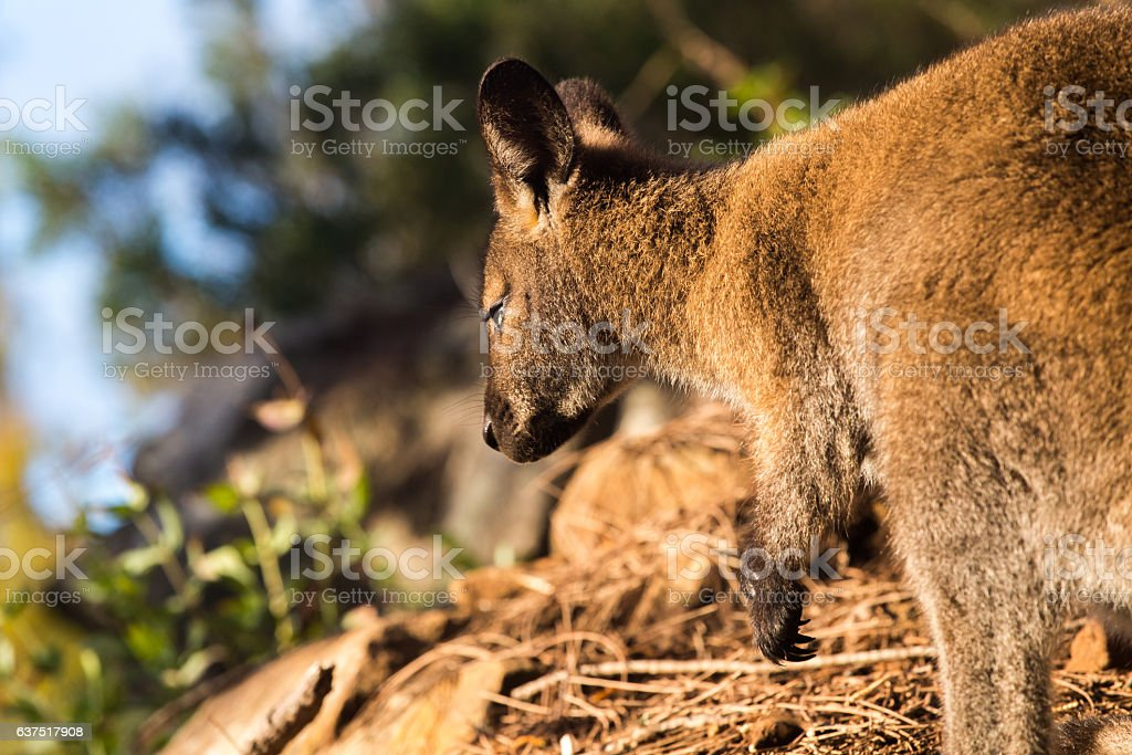 Wallaby in natural background lit by grazing light stock photo