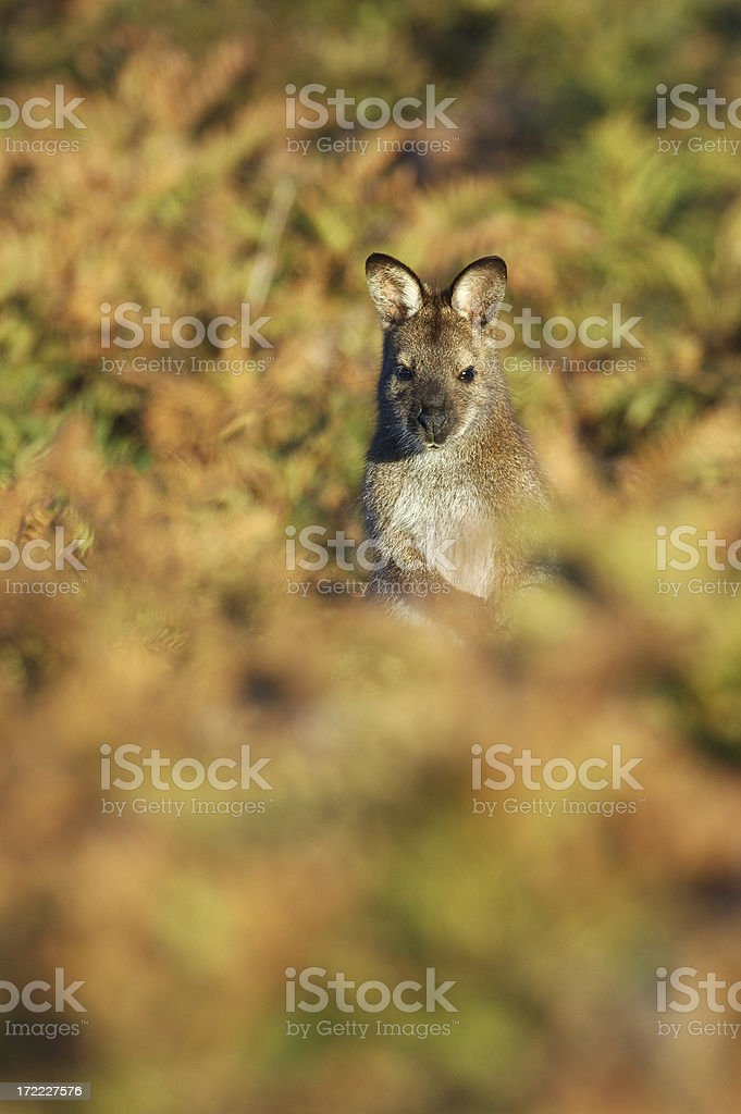 Wallaby in sunset stock photo