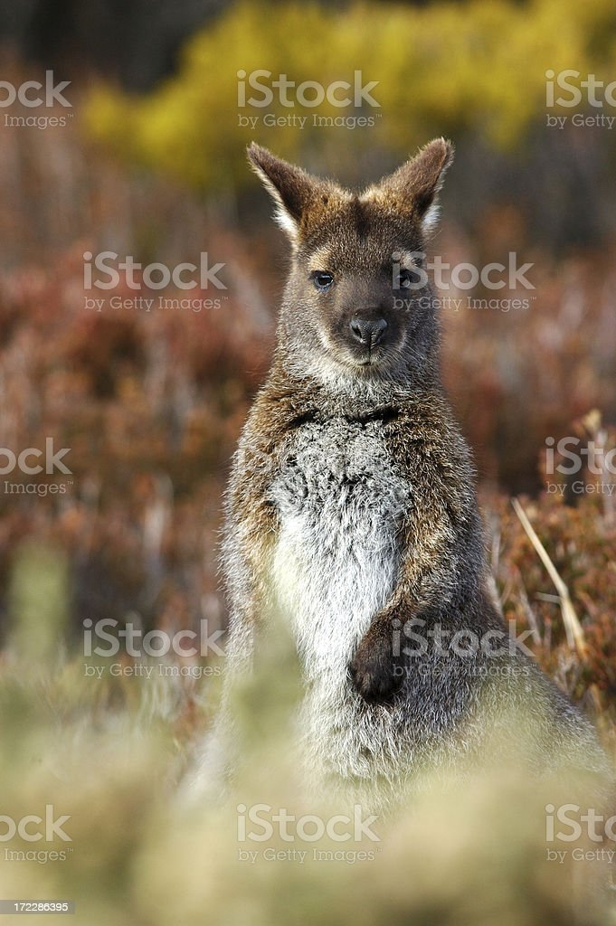 Wallaby in the bush stock photo