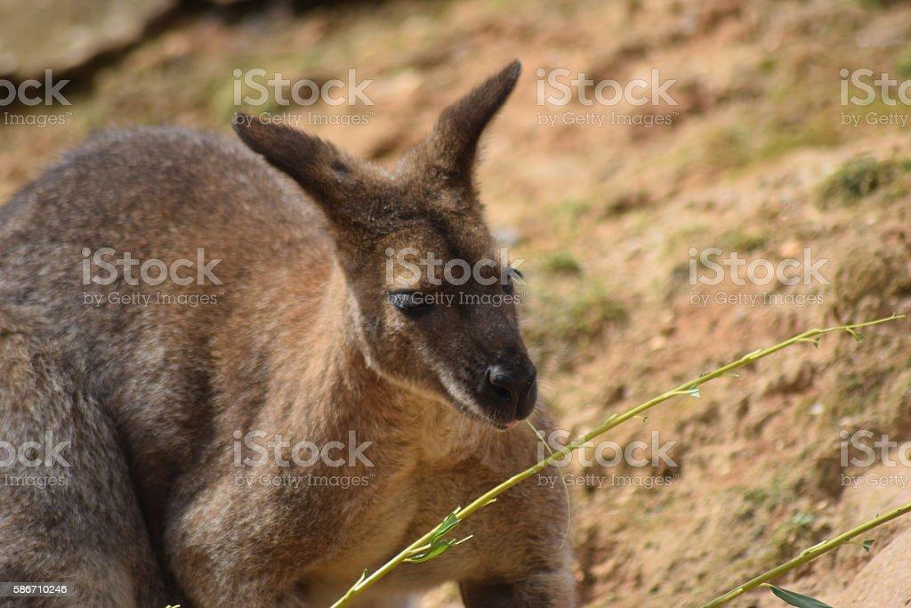 wallaby kangaroo animal outdoors stock photo