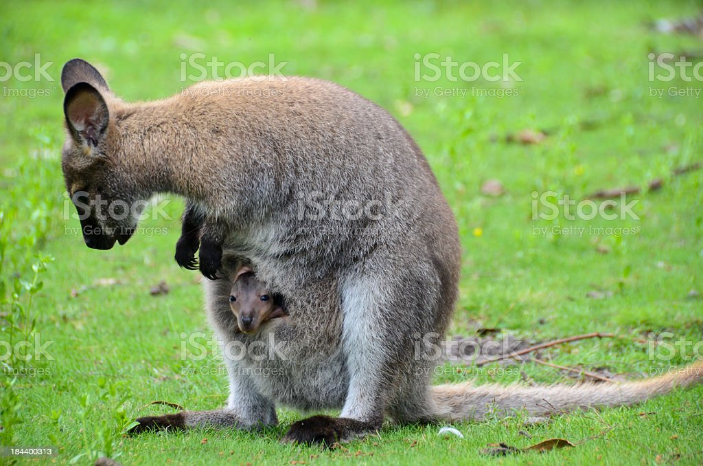 Wallaby Mom stock photo
