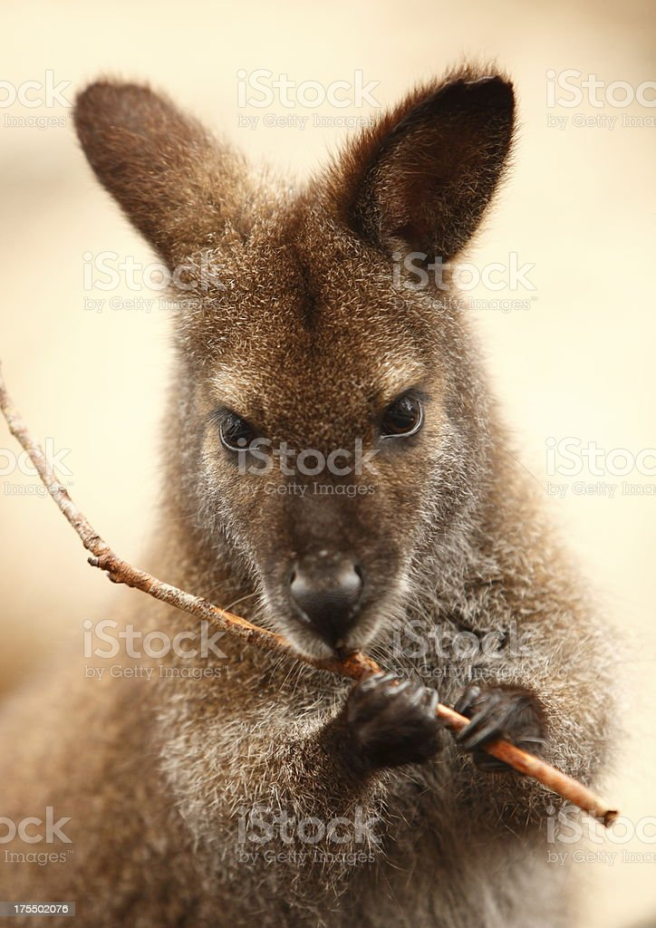 Wallaby royalty-free stock photo