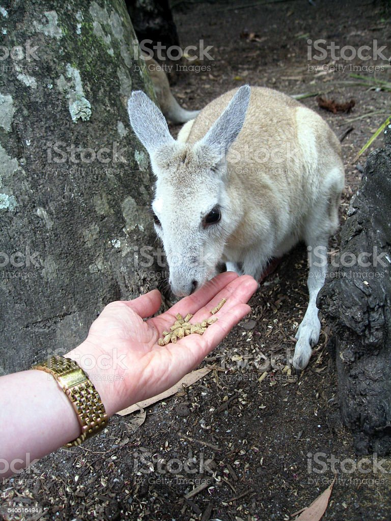 Wallaby stock photo