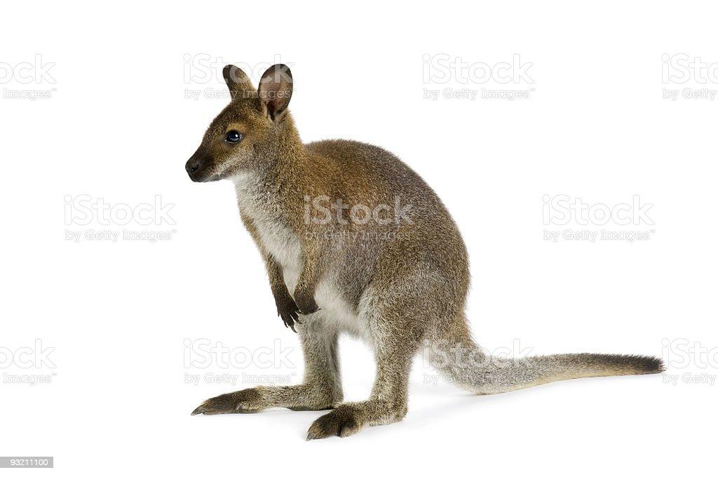 Wallaby royalty-free stock photo