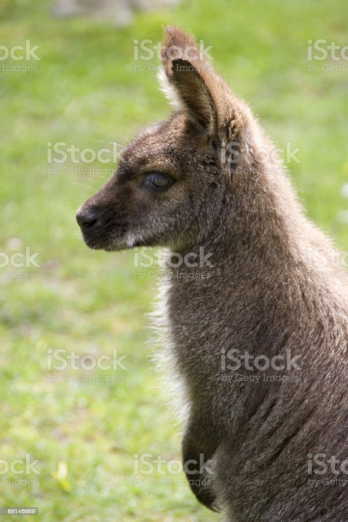 Wallaby - Profile royalty-free stock photo
