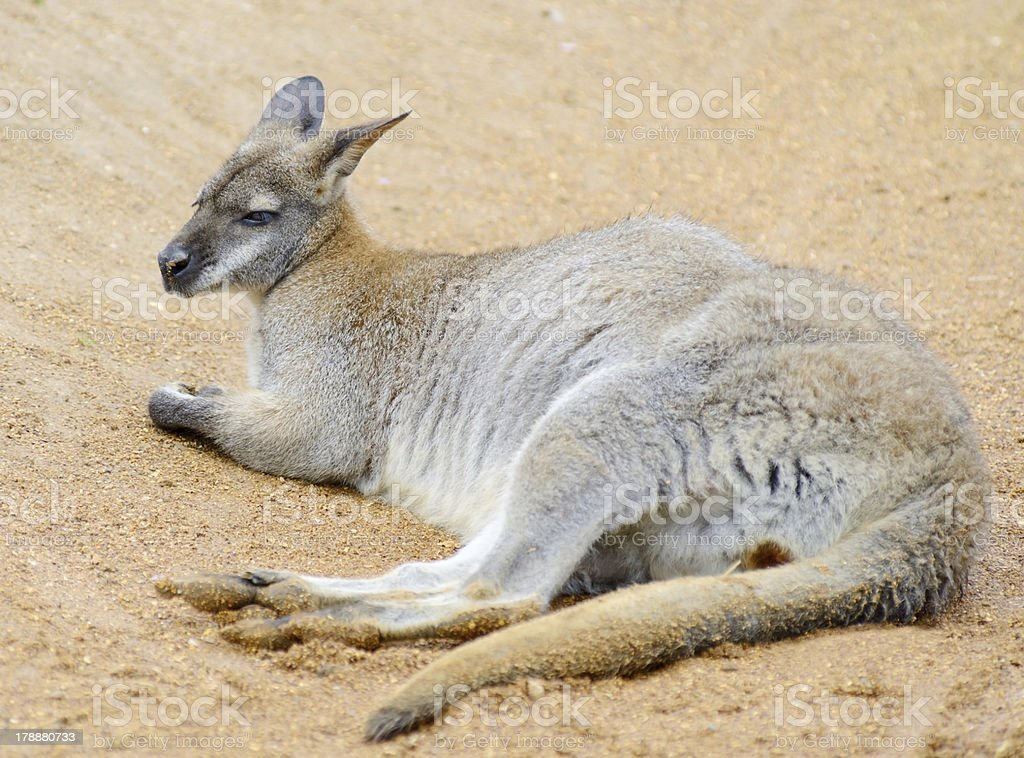 Wallaby relaxing royalty-free stock photo