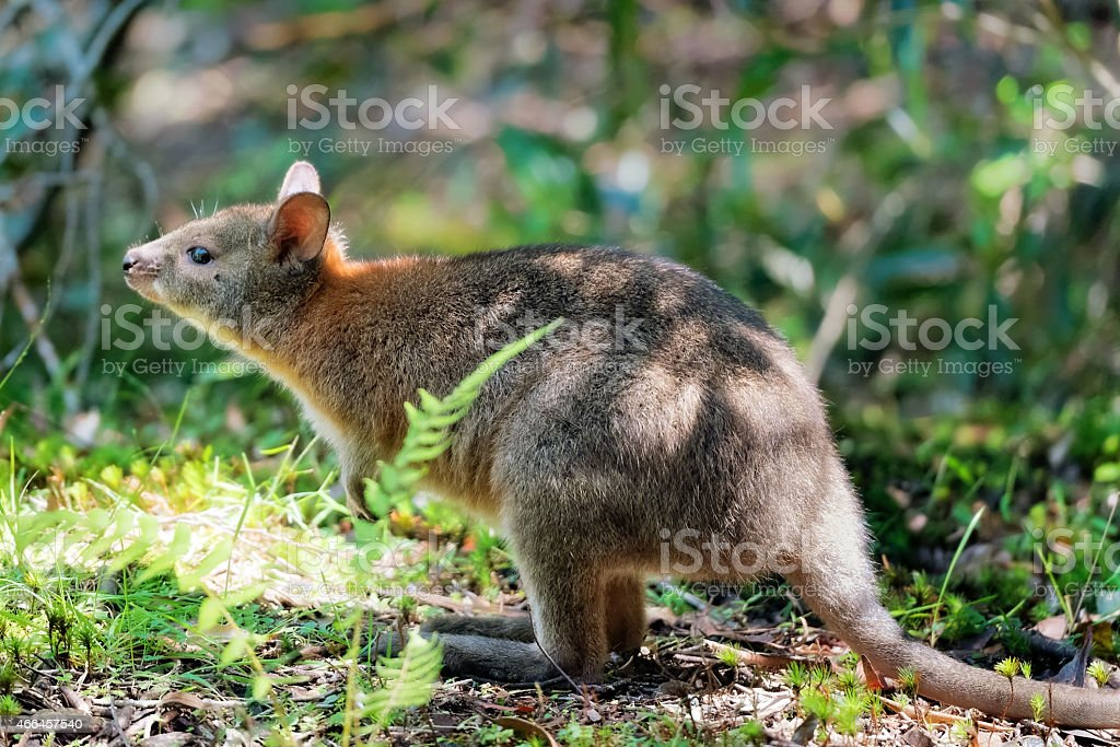 Wallaby Sniffing stock photo