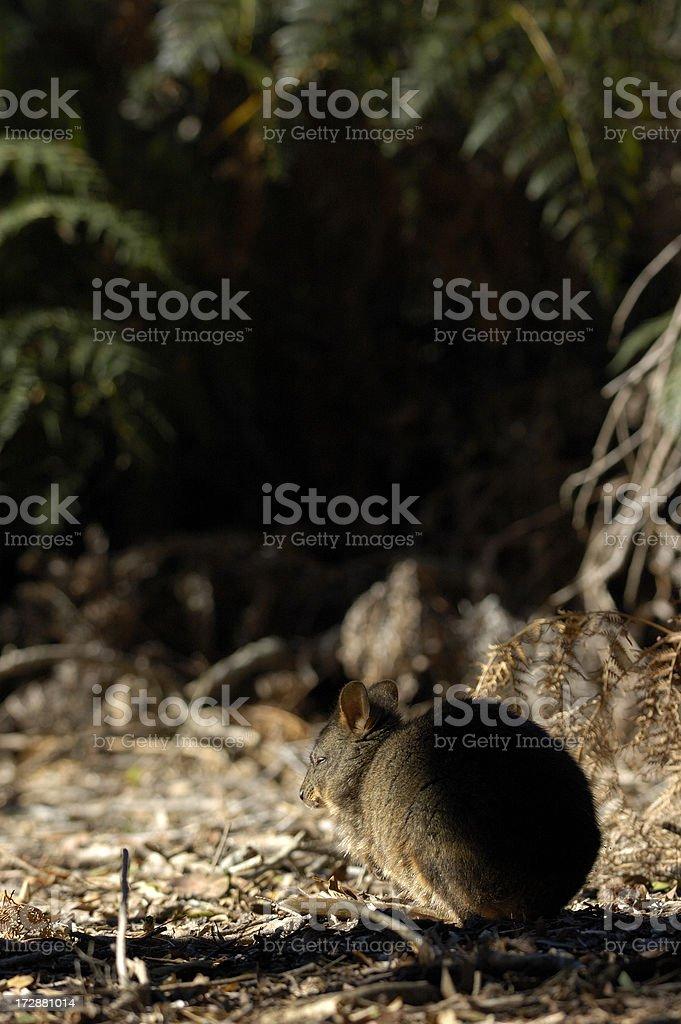 Wallaby takes a nap stock photo