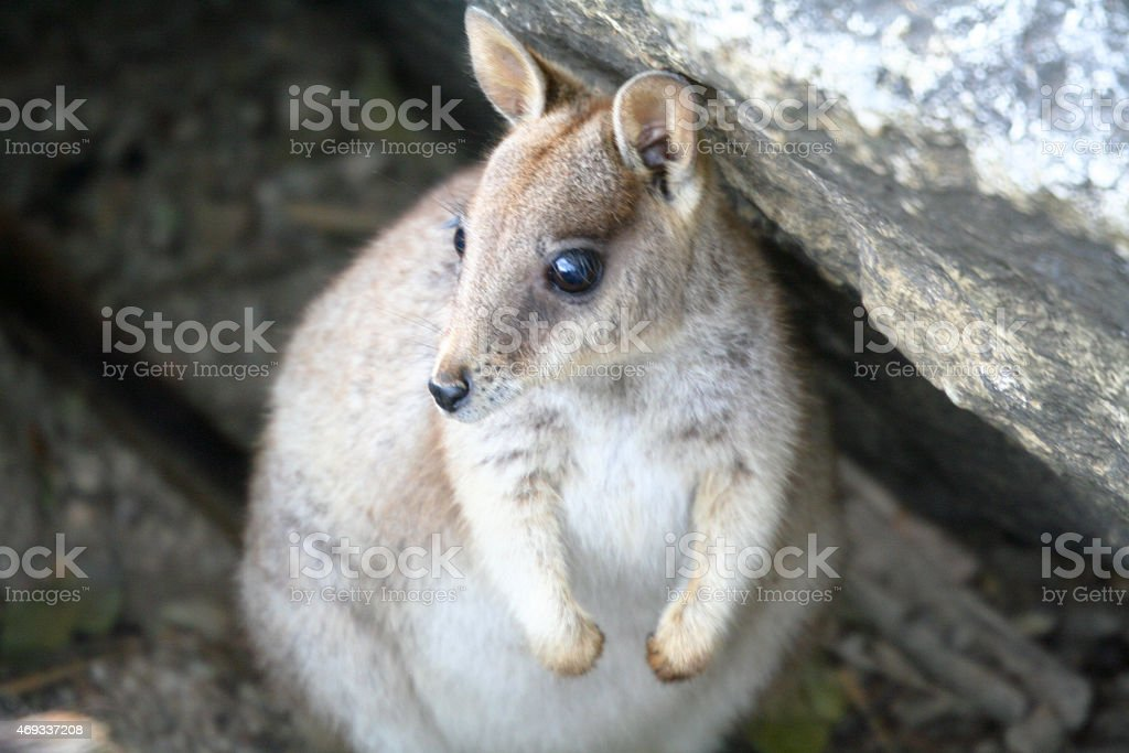 Wallaby Under a Rock royalty-free stock photo