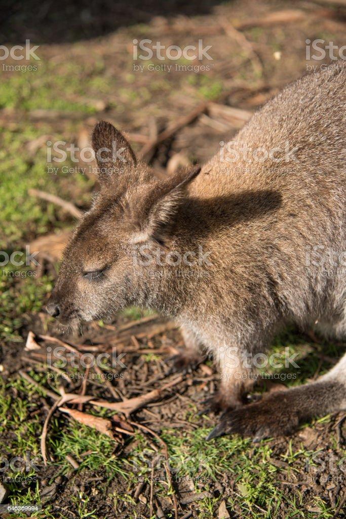 Wallaby, wildlife animal in Australia stock photo
