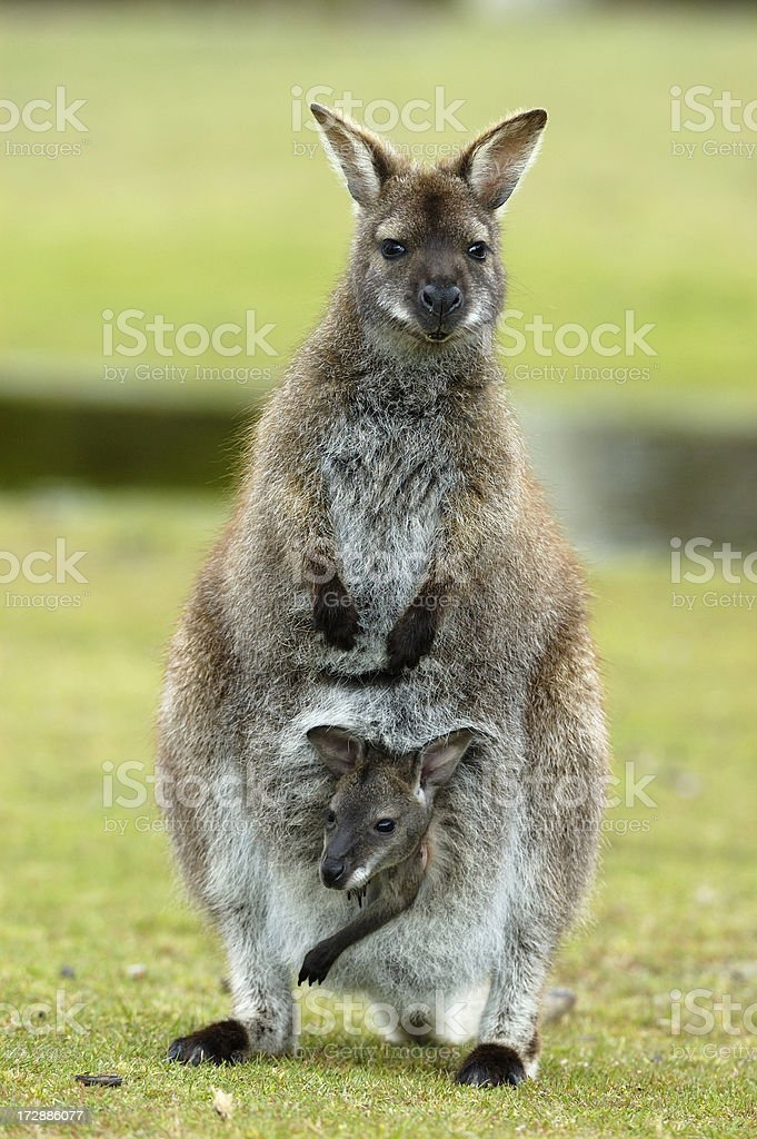 Wallaby with baby stock photo