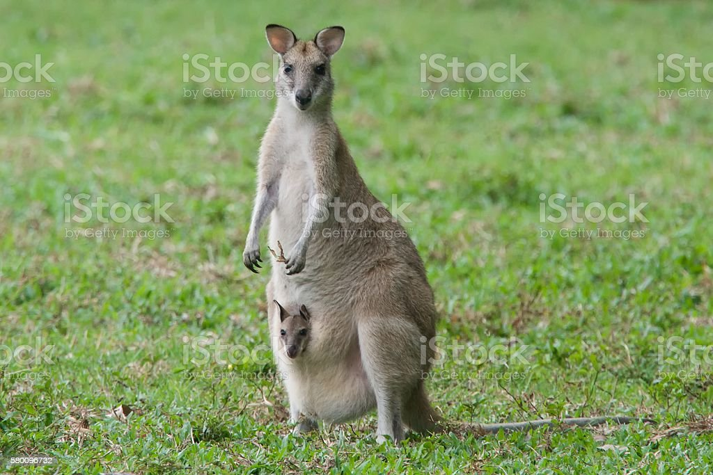 Wallaby with joey stock photo