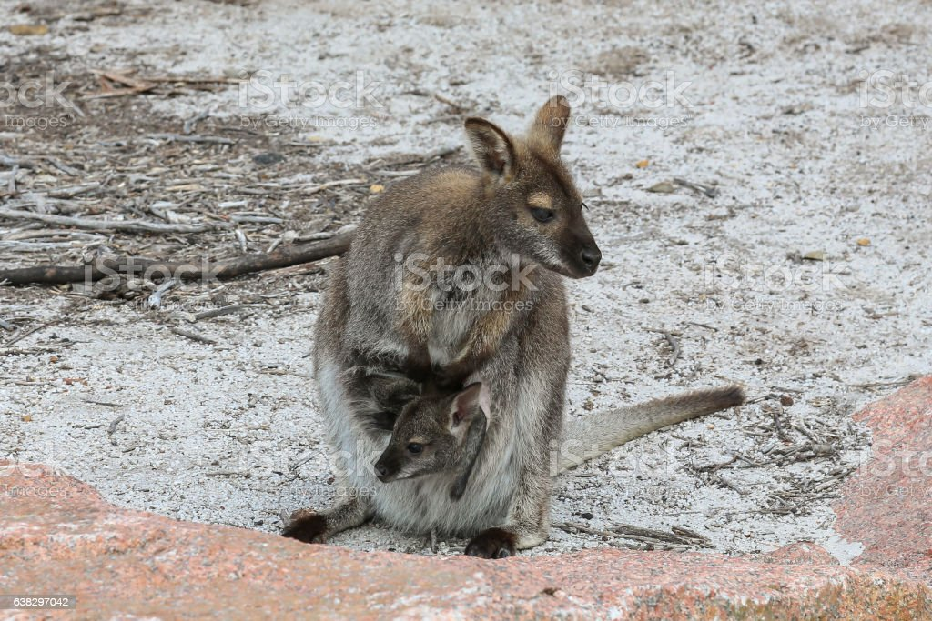 Wallaby with young baby in pouch stock photo