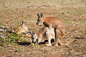 Wallaroo Mating