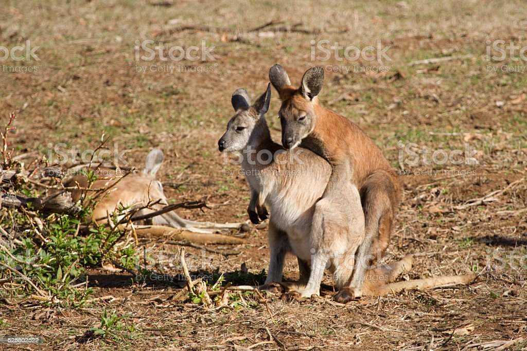 Wallaroo Mating stock photo