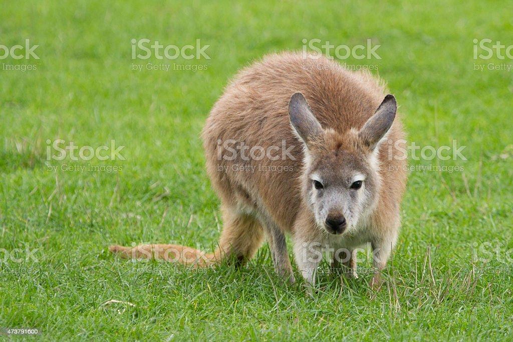 Wallaroo stock photo