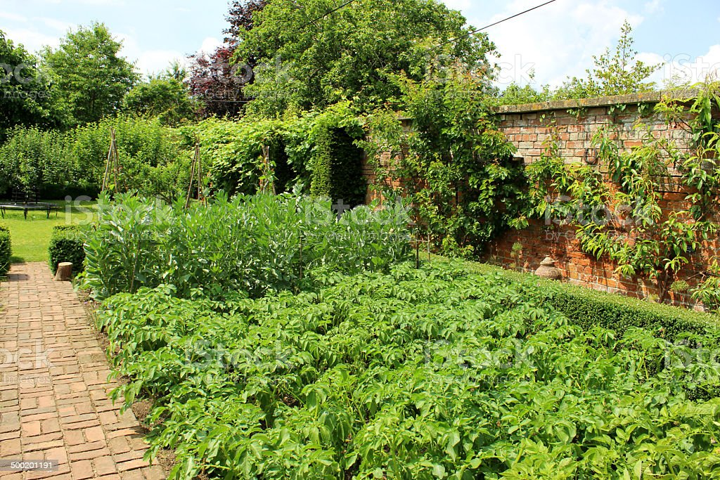 Photo showing an ornamental vegetable garden, with lush beds of...