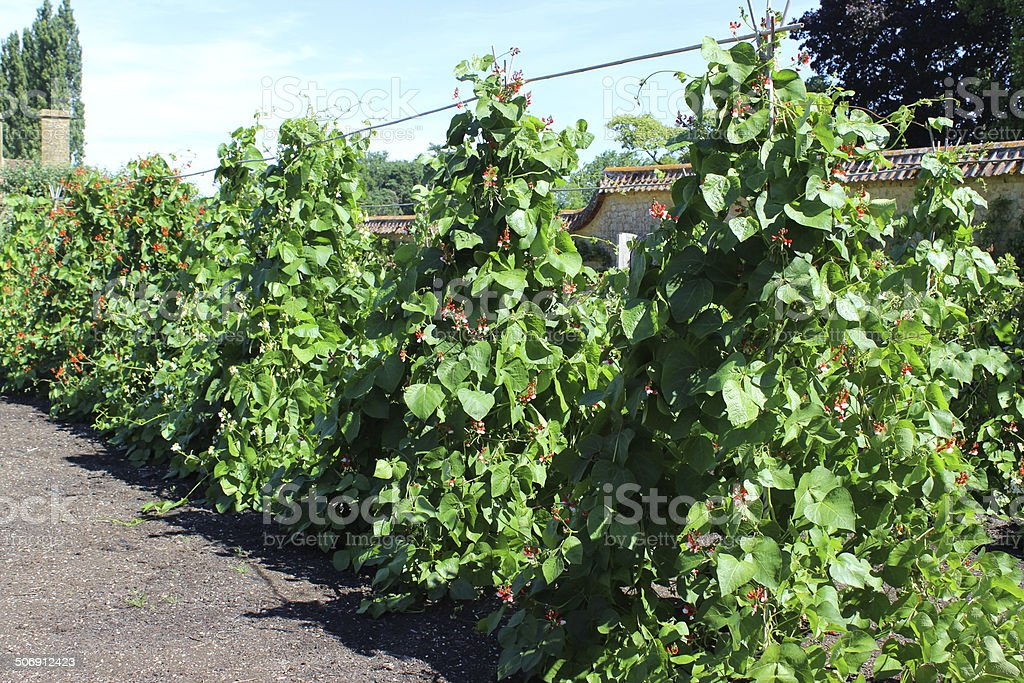 Walled kitchen-garden growing vegetables, scarlet runner bean plants (Phaseolus-coccineus) stock photo