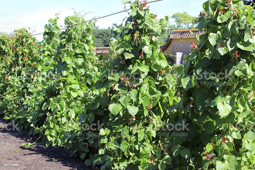Walled kitchen-garden growing vegetables, scarlet runner-bean plants (Phaseolus-coccineus) stock photo