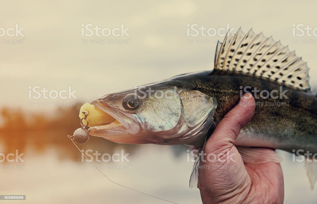 Walleye caught on handmade jig lure, toned stock photo