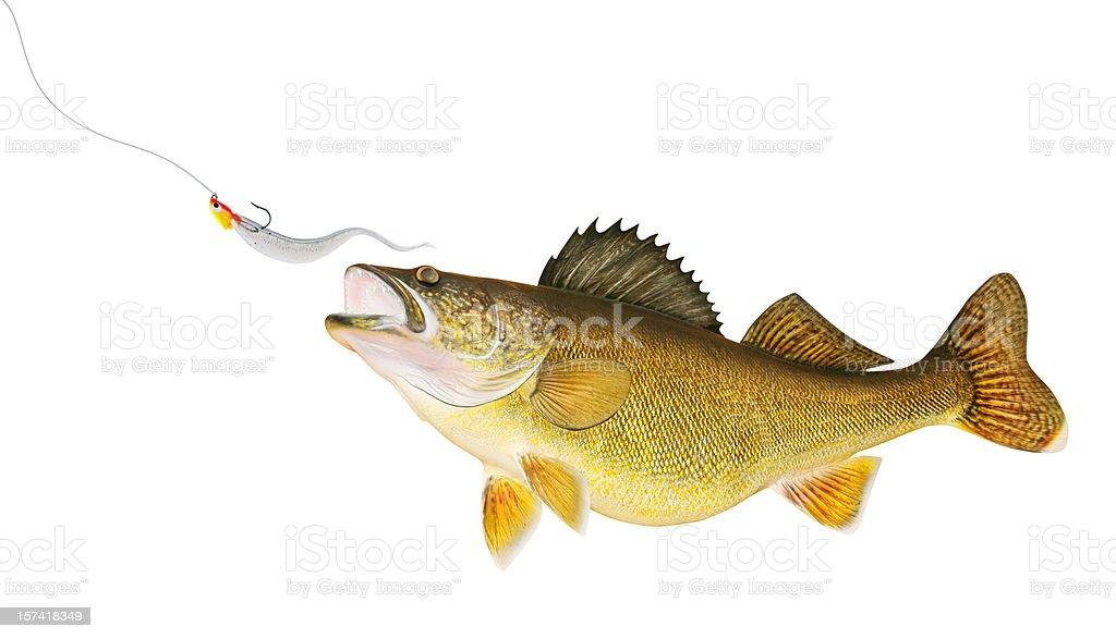 Walleye Chasing Lure stock photo