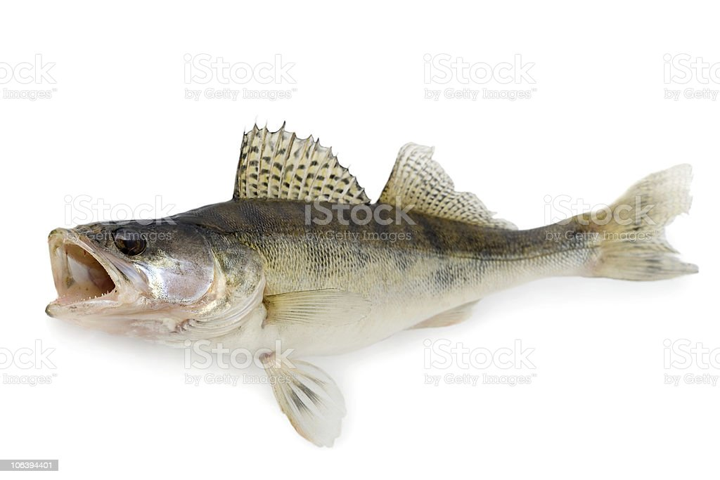 Walleye isolated stock photo