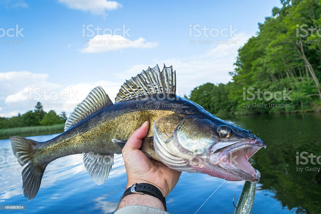 Walleye outdoor portrait stock photo