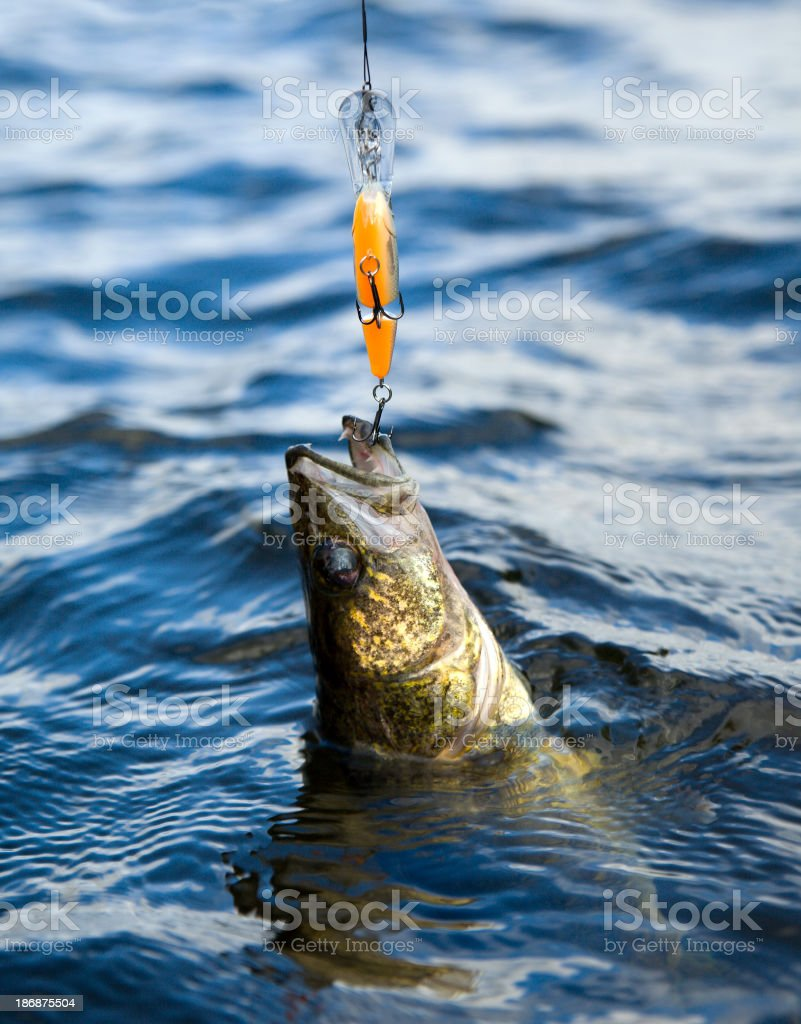 Walleye with a lure royalty-free stock photo