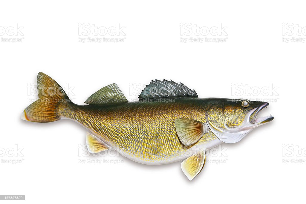 Walleye with Clipping Path stock photo