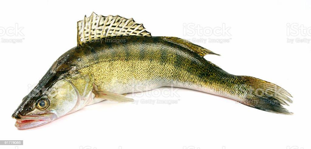 Walleye zander fish royalty-free stock photo