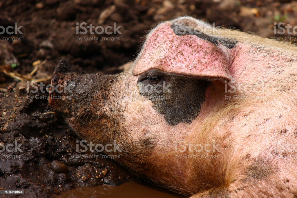 Wallowing in mud stock photo