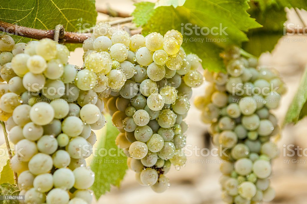Wallpaper with Crete White Grapes royalty-free stock photo